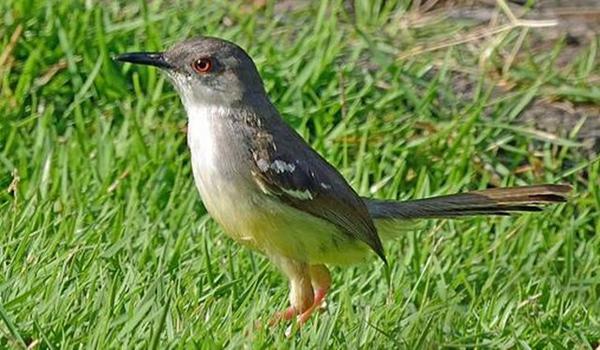 burung ciblek sawah