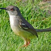 Cara Merawat Suara Burung Ciblek Untuk Masteran