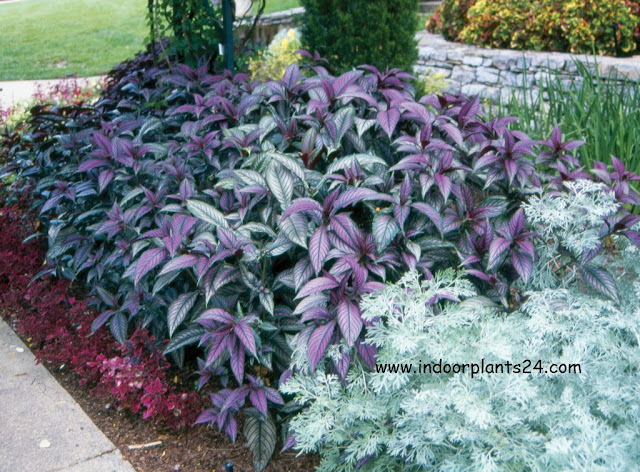 strobilanthes dyerianus houseplant guidelines