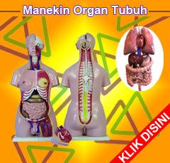 Torso Bagian-bagian Tubuh, Manekin Bagian Badan, Model Otak Manusia, Boneka Anatomi Otak, Pantom Pendidikan Tubuh Manusia