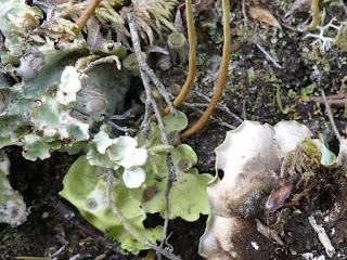 Néphrome arctique - Nephroma arcticum