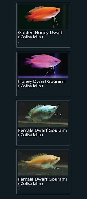 Honey Dwarf Gourami (colisa lalia)  13 Female Dwarf Gourami (Colisa Lalia)  14 Female Dwarf Gourami (colisa lalia)