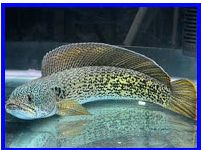 Channa Baramensis (Baram snakehead)