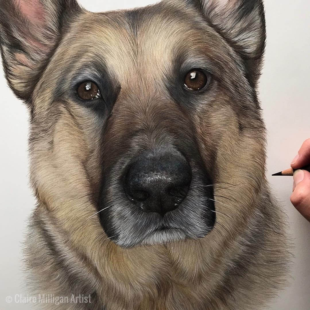 05-Kai-German-Shepherd-Claire-Milligan-Realistic-Color-Pencil-Animal-Portraits-www-designstack-co
