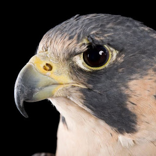 Bobby Corridor - Fly Like A Falcon, Strong Like A Stallion