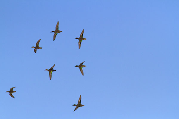 Green-winged teals in flight