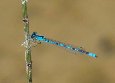 Marsh-type Bluet (Enallagma cf ebrium)
