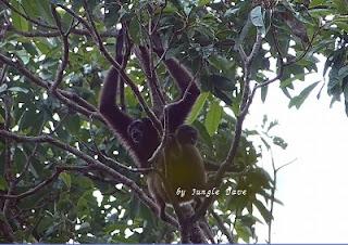 Bornean Gibbon ミュラーテナガザル