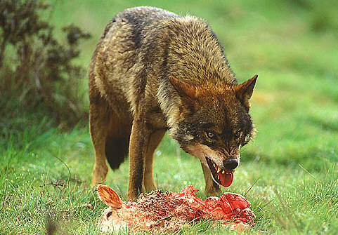 Image result for quem poupa lobo sacrifica ovelha