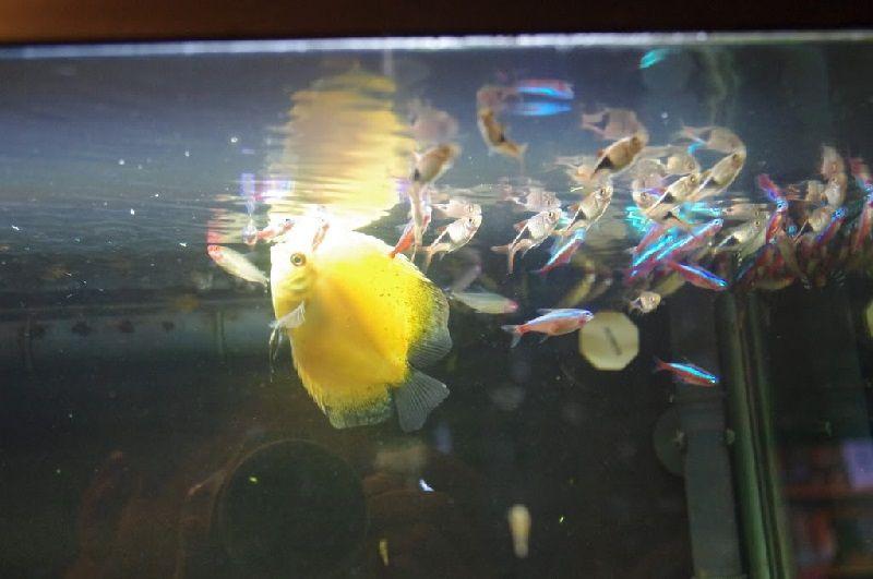 Gambar Ciri Ciri Ikan Hias sakit Atau Stres Ikan Hias Megap Megap Di Permukaan Air