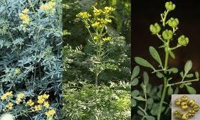 اسرار النبات سر العلاج بالاعشاب فوائد عشبة السذاب