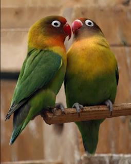 Racikan Pakan Penangkaran Lovebird