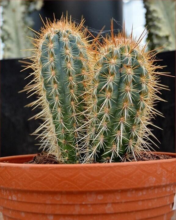 Kaktus melakukan fotosintesis pada organ 75