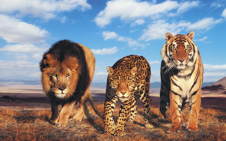 lion vs leopard vs tiger wallpaper hd - tapandaola111