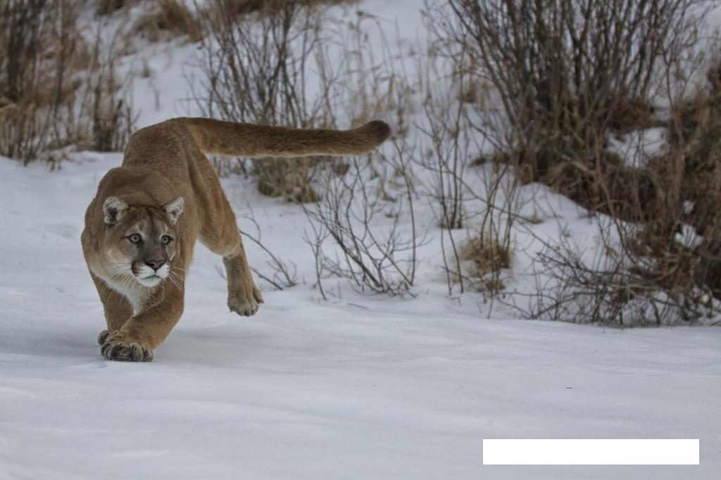 snow animals lions photographs wildlife december info