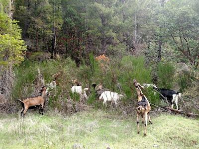 Goats assault a patch of scotch broom, Klamath California