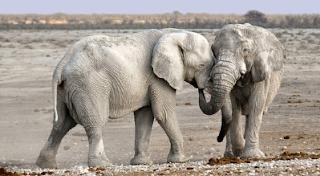 Apa Arti Peribahasa Gajah Bertarung Sama Gajah, Pelanduk Mati Di Tengah – Tengah ?