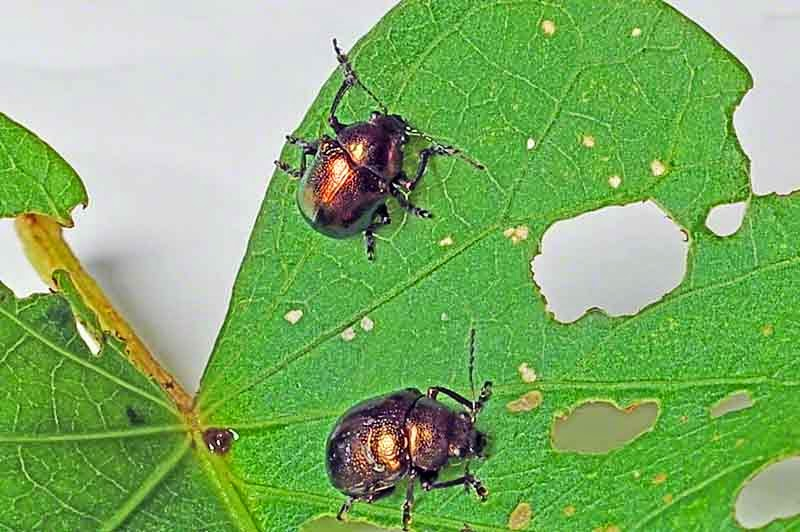gold beetles, sweet potato leaf