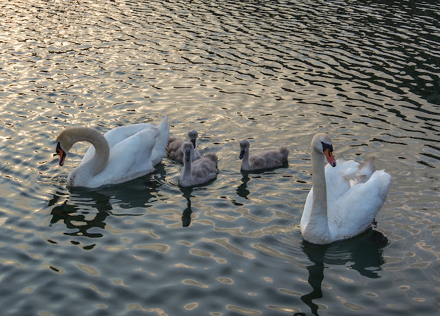 Photo of the swan family waiting for another feed