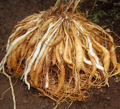From shatavari plant the root has healing property, which after extraction has to be thoroughly cleaned and dried. The most common root of Shatavari goes through grounding and in the market comes in the form of powder.