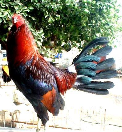El mejor gallo de pelea de gallos