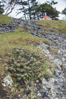 Prickly Peak Catci nested in dense moss