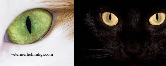 kedilerin-gözünün-büyüme-sebebi