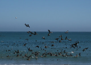 Pelicans diving into the Pacific for their meal, William Randolph Hearst Memorial Beach, San Simeon, California