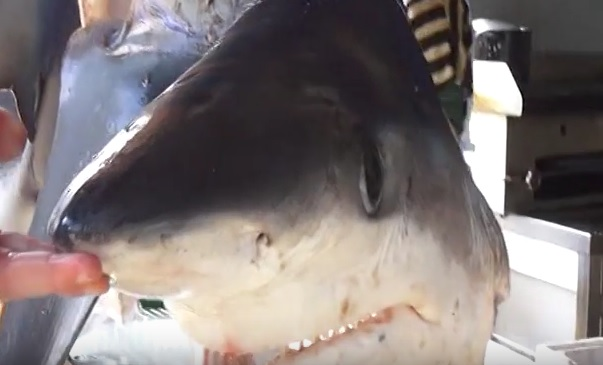 Rare shark caught in Vlora waters due to Climate Change