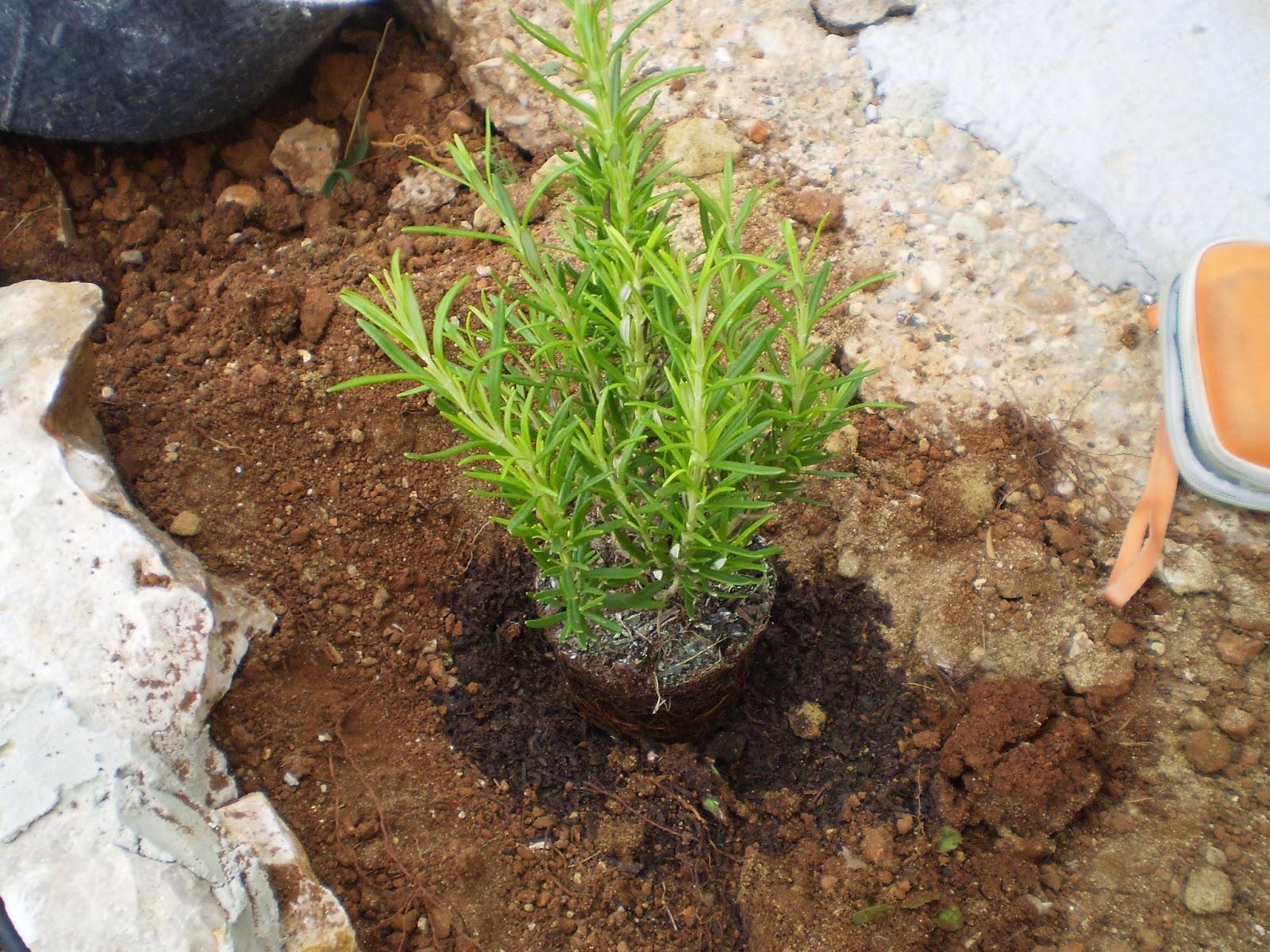 Cultivar el huerto casero plantando romero y tomillo - Huerto de plantas aromaticas ...
