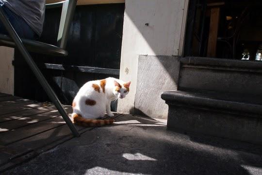 Pub cat Amsterdam