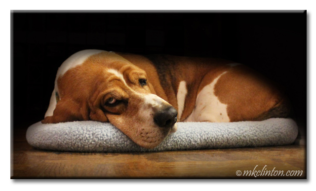 Basset lounging on his bed.