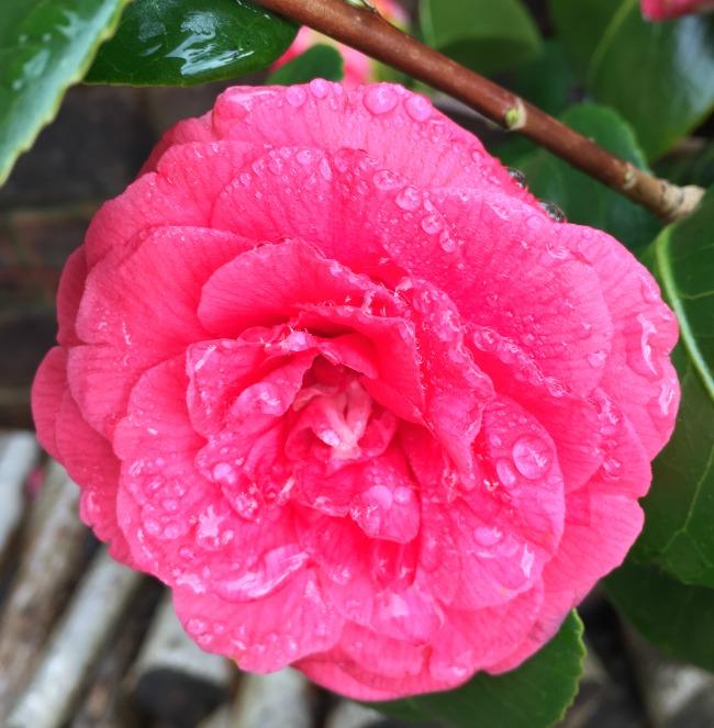 #MySundayPhoto-number-11-image-of-pink-camellia