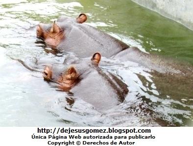 Foto de hipopótamos pasenado juntos bajo el agua. Foto de hipopótamos de Jesus Gómez