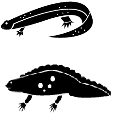 Poisonous Newt , Adult newts, threatened newt