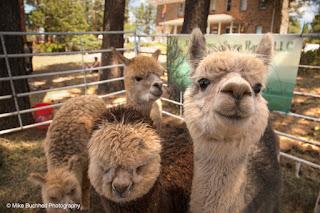 smiling alpaca