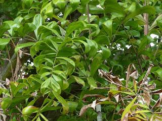 Dypsis fasciculata