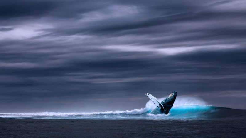 Humpback Whale in Ocean Waves