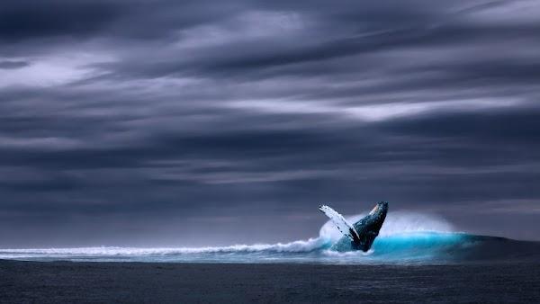 Humpback Whale in Ocean Waves