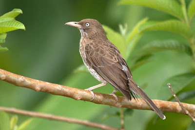 Pearly eyed Thrasher