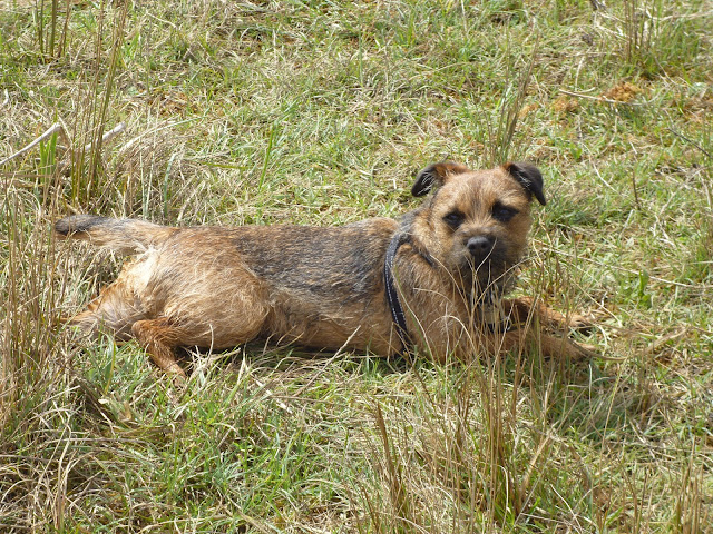 border terrier on a walk
