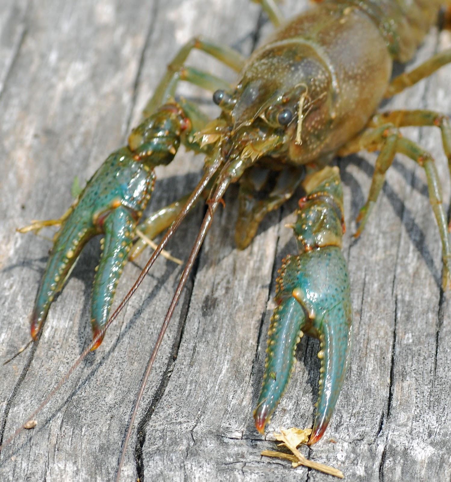 MObugs: Northern Crawdad