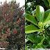 Bùi Ô rô - Houx - Holly tree