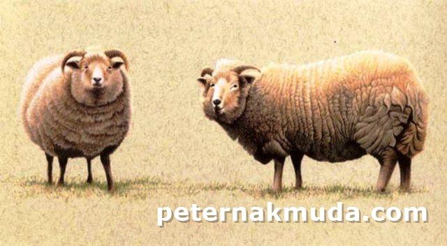Kumpulan Nama Nama Domba Asal Luar Negeri Peternakan Mas Ely