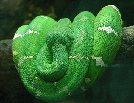 10 สายพันธุ์งูที่น่าทึ่ง งูเหลือมต้นไม้สีเขียวมรกต  (Emerald Tree Boa)