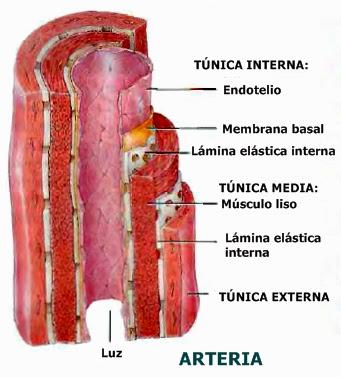 Estructura y función de los vasos sanguíneos