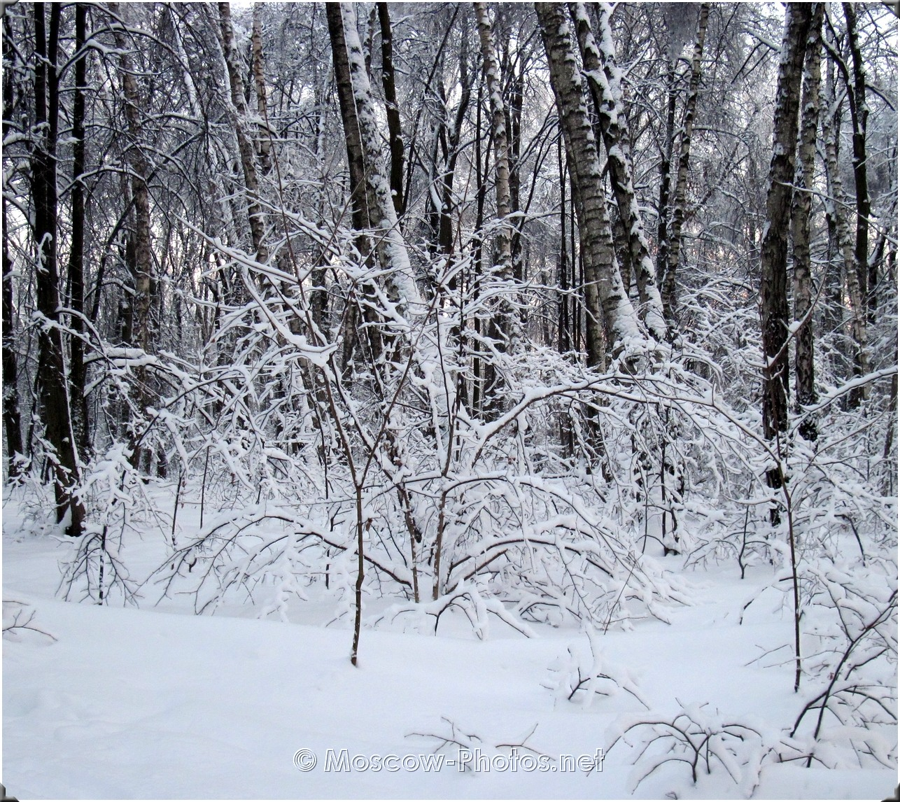 Snowy Moscow Forest
