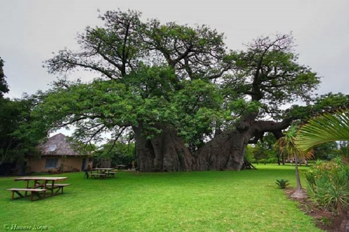 The bar was created in 1933 and is located on a farm owned by the Van Heerden family. - As If A 6,000 Year Old Tree Isn't Awesome Enough, Wait Til You See What's Inside It.