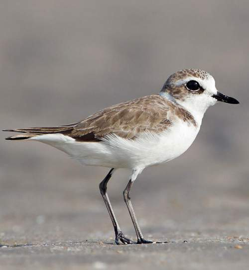 Lesser sand-plover - Charadrius mongolus