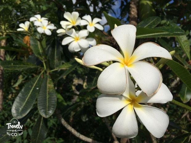 Viajar a Bali guía de viaje - flor frangipan